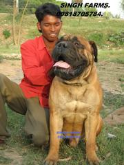 ROTTWEILER & BULL MASTIFF PUPS FOR SALE. IMPORT CHAMPION LINES.PAPERS.