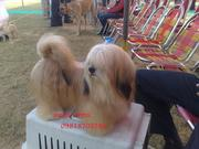 PEKIGNESE & LAHSA APSO PUPS FOR SALE. ULTIMATE QUALITY. PAPERS.