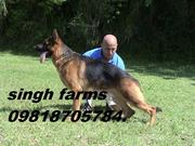 GERMAN SHEPARD & LABRADOR PUPS FOR SALE. CHAMPION PARENTAGE. KCI PAPER
