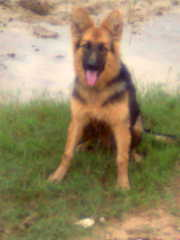 German shepherd,  original breed,  fully vaccinated for sale