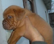 FRENCH MASTIFF EXCELLENT QUALITY PUPPIES  FOR  SALE @ 9999865594