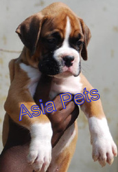 BOXER  Puppies  For Sale Asia Pets @  9911293906