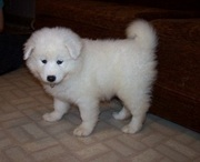 SAMOYED PUPPIES @ CAPITALKENNEL 8376988112
