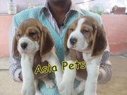 BEAGLE  Puppies  For Sale  ® 9911293906