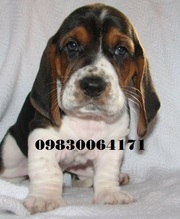 Bassat hound puppies available  at Clawsnpawskennel (9830064171)
