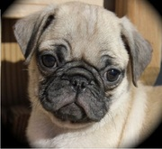 Pug puppies for sale available at (9830064171)