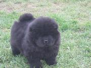 CHOW CHOW available for sale at clawsnpawskennel (9830064171)