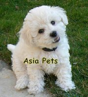 BICHON FRISE PUPPIES FOR SALE ARYAN KENNEL - 9555944924