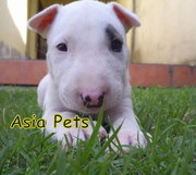 BULLTERRIER PUPPIES FOR SALE ARYAN KENNEL - 9555944924