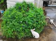 RABBITS FOR SALE( ONE MONTH ,  TWO MONTHS AND 3 MONTHS OLD